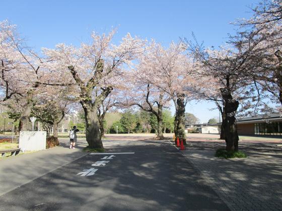 麗澤中学校 校舎前 桜並木(樹齢80余年)